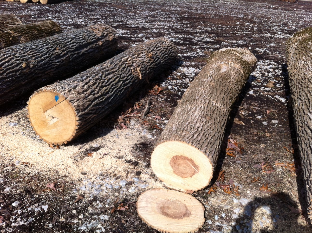 Timber And Lumber Export Offers White Ash Logs Saw Grade